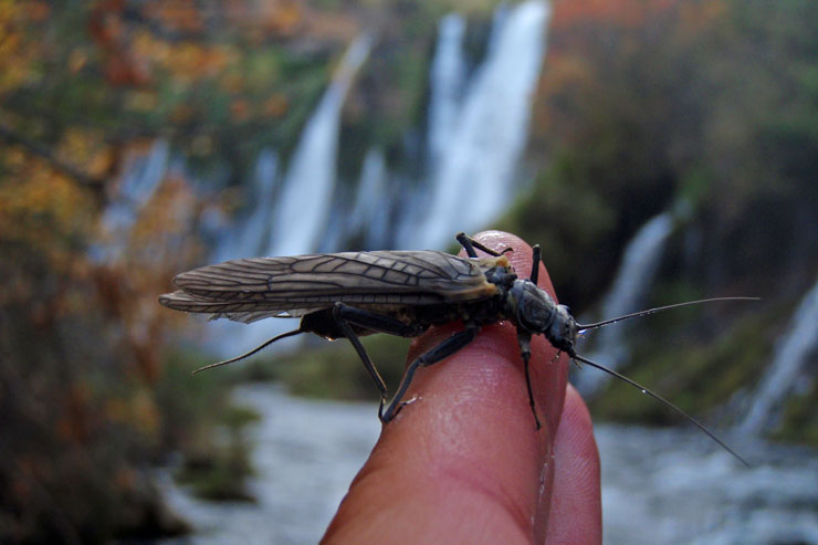Giant stoneflies are abundant on Burney Creek
