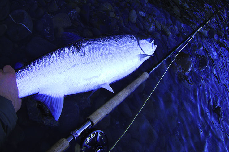 A coastal steelhead caught on a spey rod